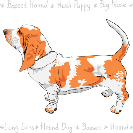 pawl: Tan and White dog Basset Hound breed standing sideways, his tail is up