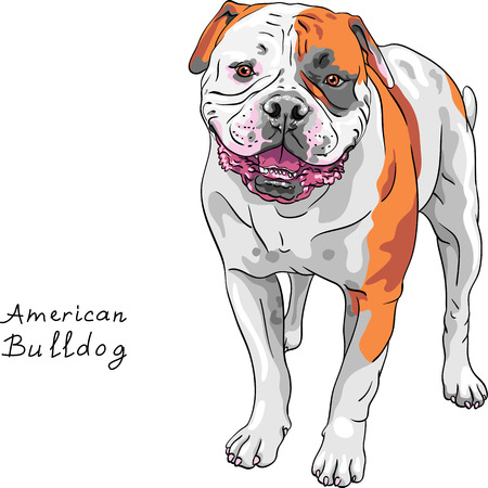 distinctive: COLOR sketch of the dog American Bulldog breed standing and smiling