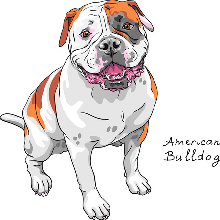 wrinkled face: COLOR sketch of the dog American Bulldog breed