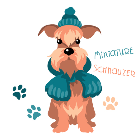 miniature breed: dog breed Miniature Schnauzer in warm winter knit hat and scarf Vectores
