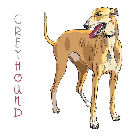 Dog breed Greyhound isolated on the white background