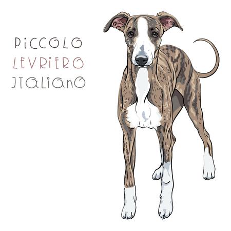 leggy: Dog breed Italian Greyhound isolated on the white background