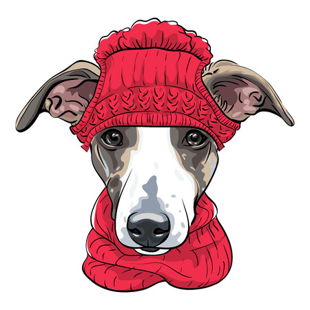 Dog breed Italian Greyhound in warm winter red knitted hat and scarf isolated on the white background