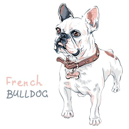 Domestic dog white French Bulldog breed standing, on the white background. Collar and tag with the inscription Frenchie. Illustration
