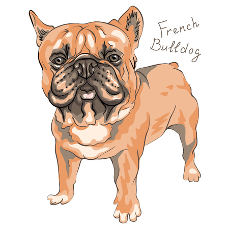 Domestic dog brown French Bulldog breed standing, on the white background.
