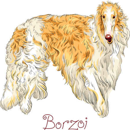 White with brown coated dog breed Borzoi or Russian wolfhound isolated on the white background Illustration