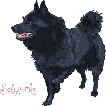 A Small black dog Schipperke breed standing, looking in the side, lifting his paw
