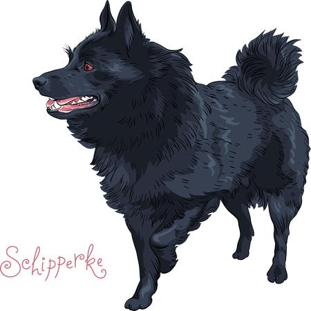 작은 검은 개 Schipperke 품종 서, 그의 발을 드는 측면에서 찾고
