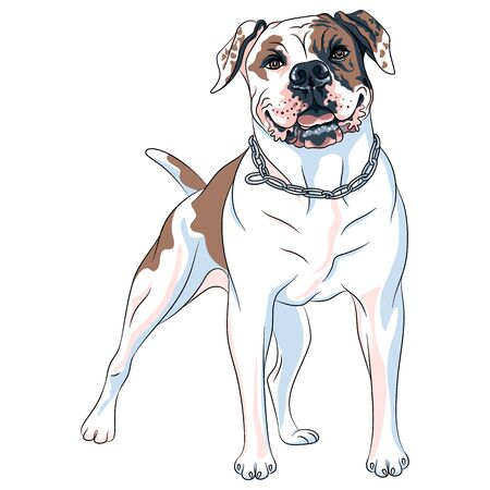 Vector sketch of dog American Bulldog breed, white with patches of brown and black Illustration
