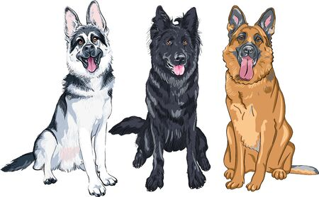Vector set of Shepherd dogs, East European Shepherd, black Belgian Shepherd Dog or Groenendael and German shepherd with black mask and sable coat