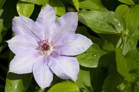 lilac flower of  clematis with green leaves