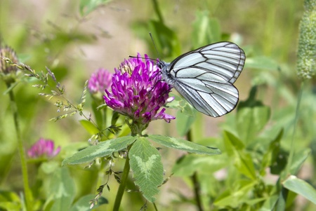 white butterfly on a clover flower, background is a grass Stock Photo