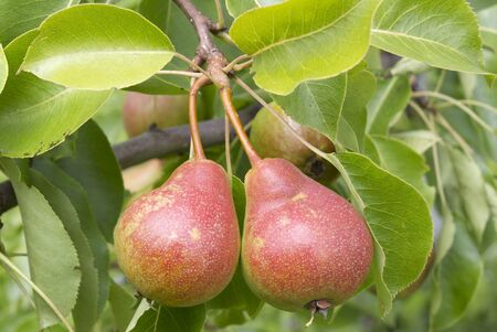 two pears on a tree branch, as background are green leaves