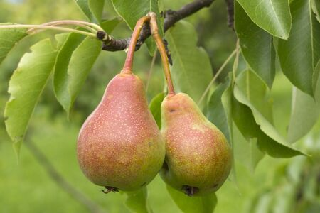 two pears on a tree branch, as background are green leaves photo
