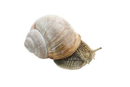 Garden spiral snail isolated on white background