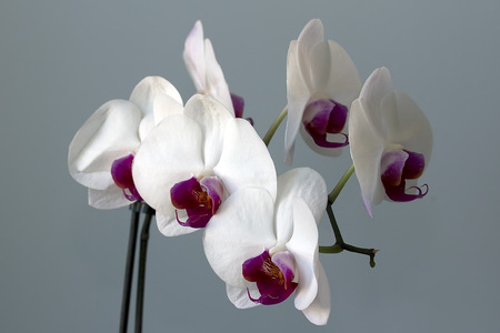 White and claret flower of an orchid on a gray background