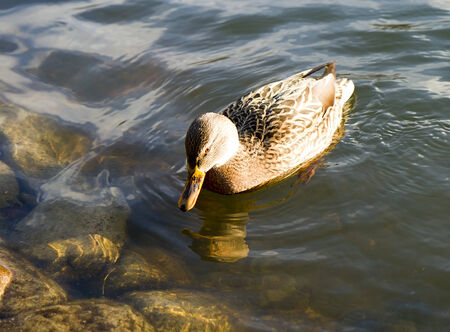 The brown wild duck floating on water
