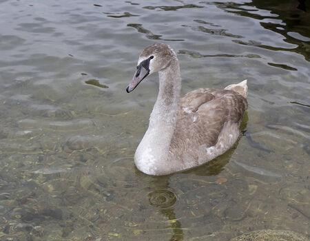 The gray swan floating on cold water Stock Photo