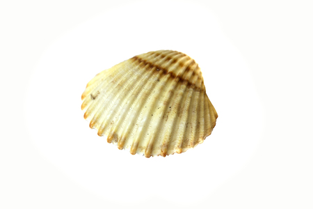 a seashell  isolated on white background