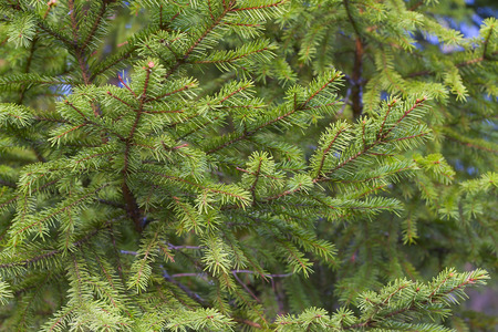 Background from green fir-tree branches