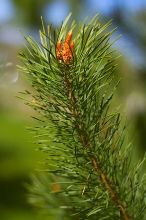 pine branch on a green-blue background photo