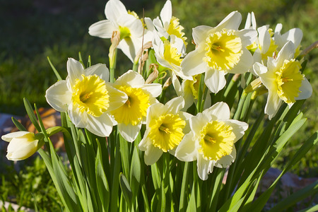 Three white-yellow narcissuses and green leaves