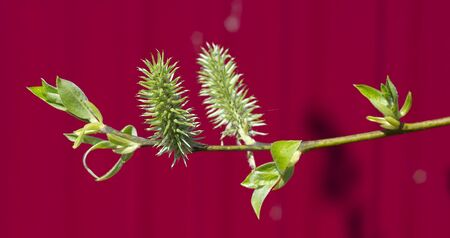 Green branch of a willow on a claret background