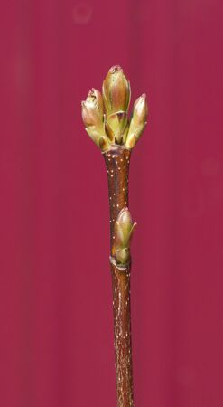 Branch with a bud on a claret background