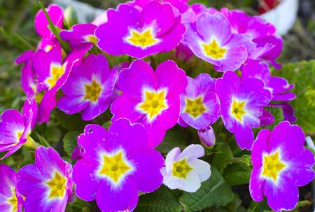 lilac primrose on green background