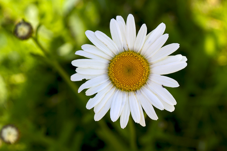 White-yellow camomile on a green background