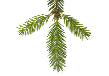 Fir-tree branch with shadow isolated on white background