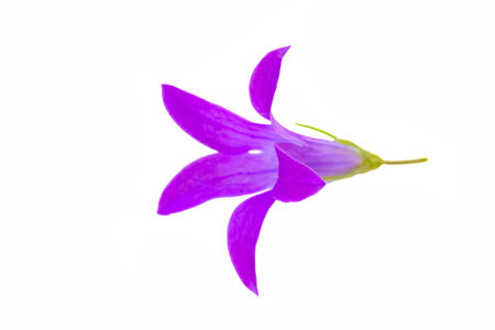 Lilac bell isolated on a white background Stock Photo