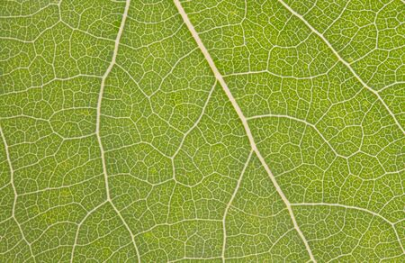 Structure of a green leaf of an aspen as background