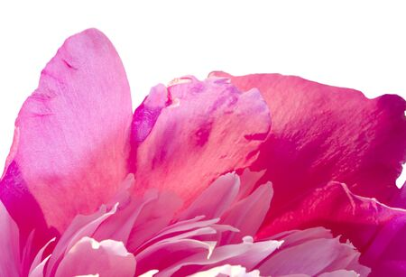 Pink  Peony Flower macro Isolated on White  Stock Photo