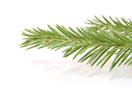 Green Fir tree branch  for Christmas and New year Stock Photo