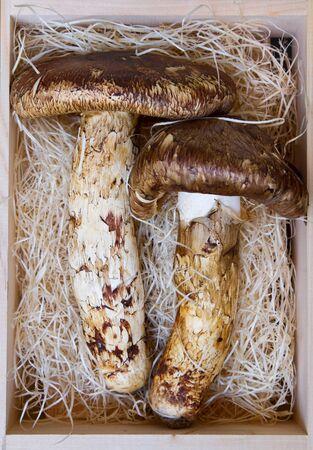 Matsutake mushroom of Japan.