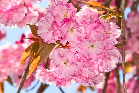 Cherry blossoms. Stock Photo