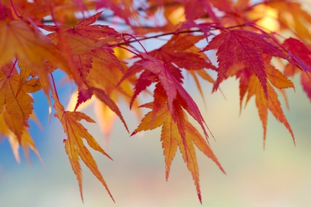 Japanese red maple in autumn.