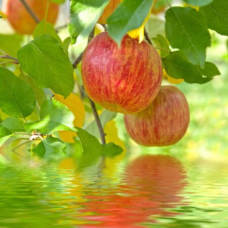 Red delicious apples with reflection. Stock Photo