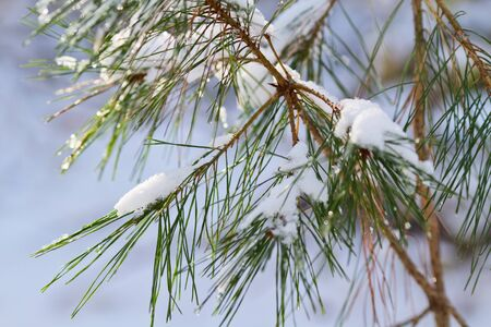 Christmas evergreen spruce tree with fresh snow.