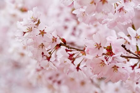 Branch of cherry blossoms in the rain
