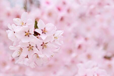 Cherry blossoms Stock Photo - 13454732