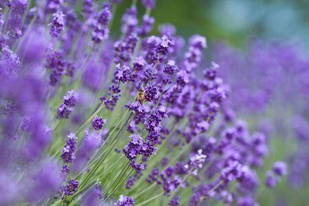 Honeybee collecting nectar on lavender  Stock Photo