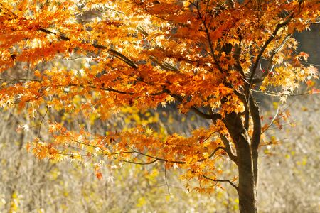 Sunlight streaming through the autumn leaves  Stock Photo