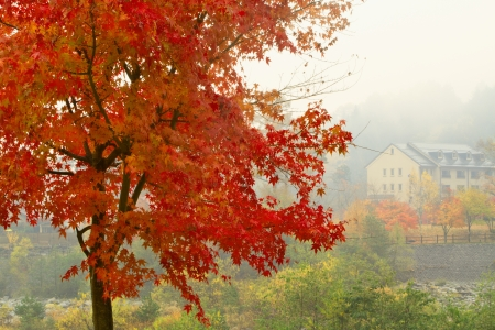 Red maple with a hotel in the background in foggy weather