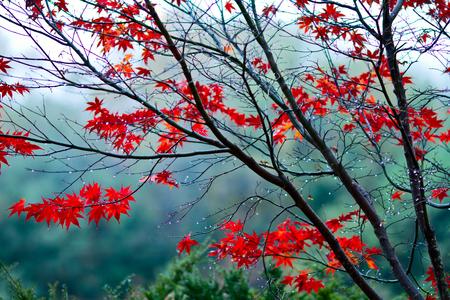Autumn leaf on branch with raindrop  Banco de Imagens