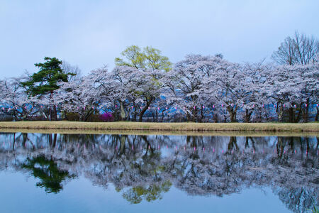 Cherry blossoms reflecting in the lake  Stock Photo