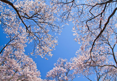 Cherry blossom with blue sky in background