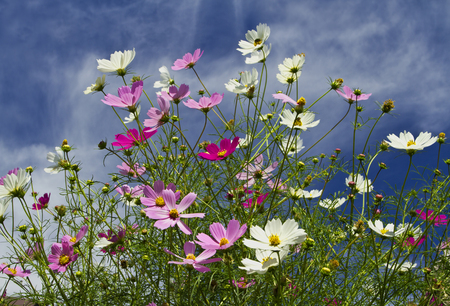 Field of cosmos flowers  with cloudy blue sky in the background.
