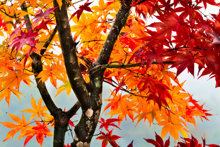 Colorful autumn tree in the rain. Stock Photo